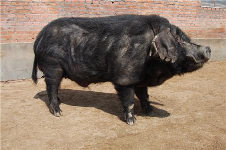存栏连创新低环保持续收紧 8月猪价上涨有理