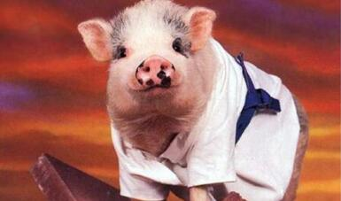猪价短期迎季节性小反弹年内通胀无忧