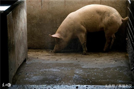 农村养猪:猪场清洁费时费力?如何让猪群定点排便?