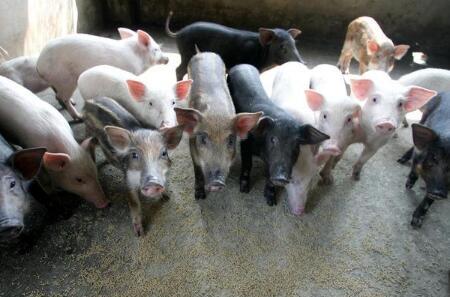猪价飘红高歌,猪市旺季即将来临?