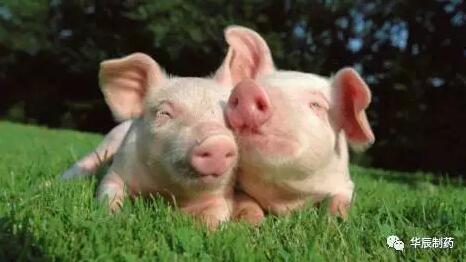 要想猪场盈利,需做好生物安全措施