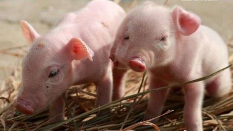 猪场中什么时候进行乳猪料饲喂?