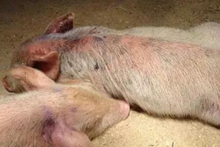 关于仔猪渗出性皮炎的重大建议