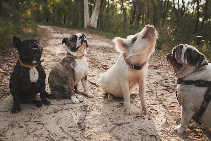 猪活出了狗样