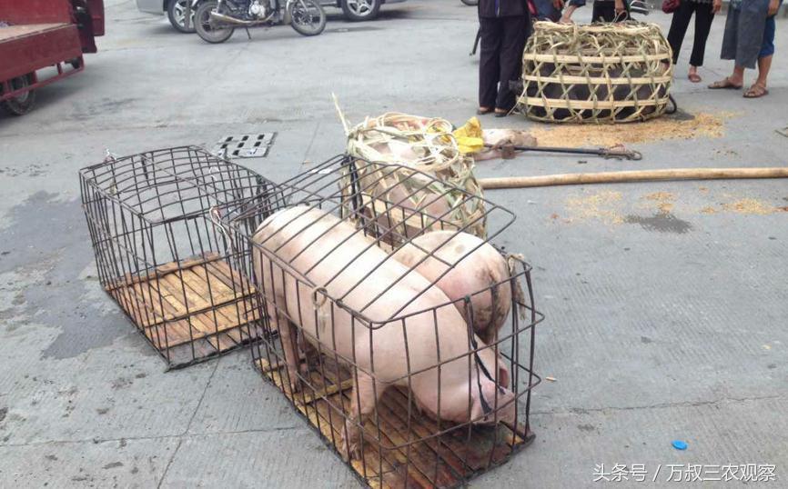 养土猪的农民到集市挑猪苗 养大了卖来年孩子的学费就有着落了