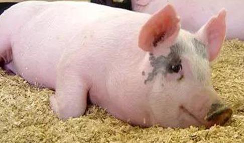 怎么卖猪饲料?销售员需掌握的话术方向与技巧