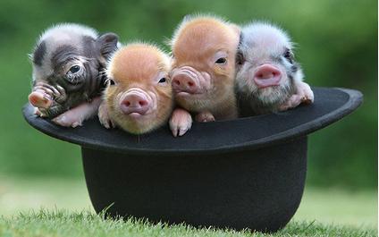 2017年8月22日(20至30公斤)仔猪价格行情走势