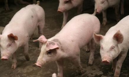 猪价果然继续上涨 8月下旬猪市大概率反弹说明了什么?
