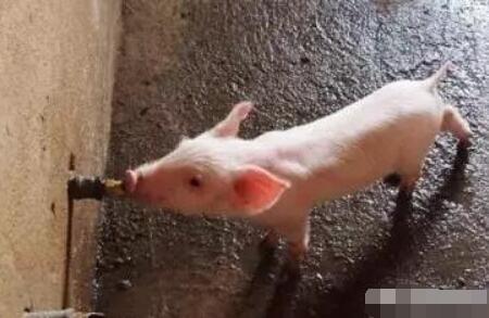 猪为什么不爱喝水?兽医教你解决办法!