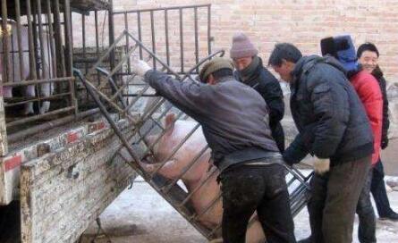 """曝光黑心猪贩的8条""""诡计"""", 养猪人当心!"""