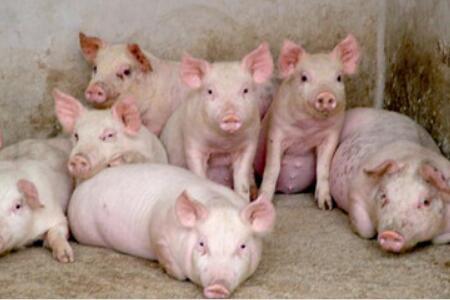 养猪场饲养管理经验总结20条
