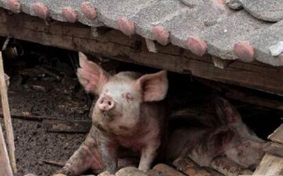 生猪散养户们面临的几大痛处,外行人感受不到……
