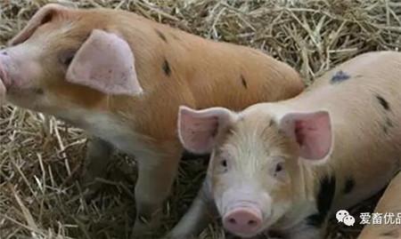 你的猪开始气喘咳嗽了?预防要点全在这里了