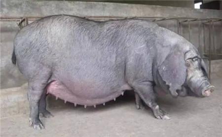 小问题大学问!母猪产后身体掉膘严重怎么办?