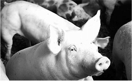 猪四脚划水状神经症状,口吐白沫,高烧不退怎么处理?