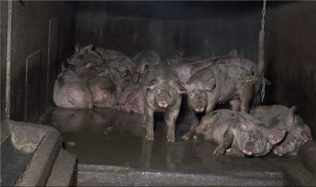 """爱尔兰养猪场 8000只猪被养的跟""""鬼""""一样"""