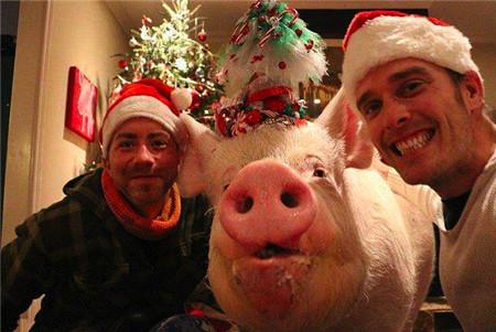 小伙购迷你宠物猪被骗,宠物猪长成500斤胖猪,小伙却更开心了
