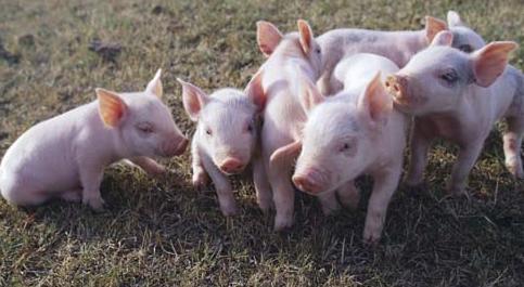养牛、养羊、养猪的前景哪个更好?