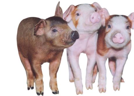 葫芦岛:打工仔回家当猪倌,给小山村带来了希望