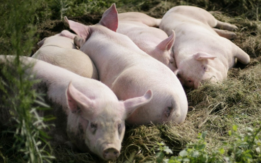印度猪流感肆虐八个月,共导致1094人死亡