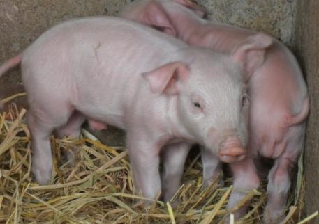 生猪市场供应面占据上风 但消费面未有明显增量