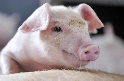 上半年关闭猪场21万个!吉林、湖南、广西、海南等14个省进展缓慢!