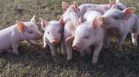 本轮猪价上涨空间不大 预计国庆后将回落