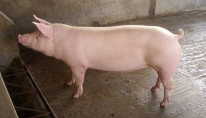 环保禁养、行情走低,以后小散户还能养猪吗?