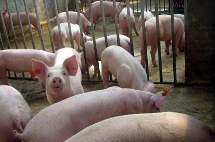 目前各省猪价平稳 9月份猪价行情预测