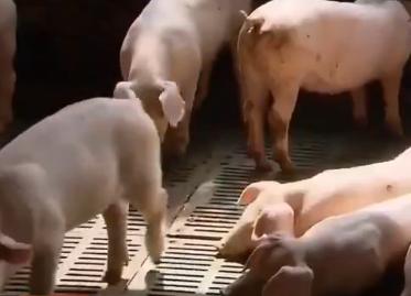 农民发明养猪新方法!不用清猪粪,一个人可以养2000头猪【NB】