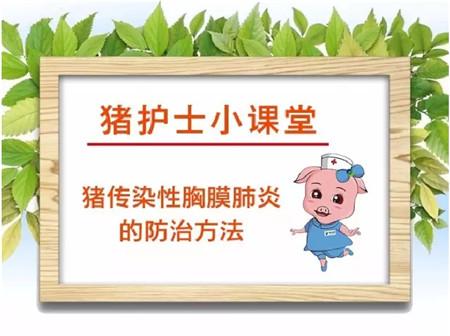 治疗猪传染性胸膜肺炎的方法看这里!