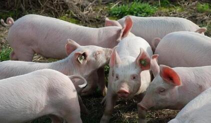 一周综述:供需博弈持续不改 生猪价格再次由涨转跌