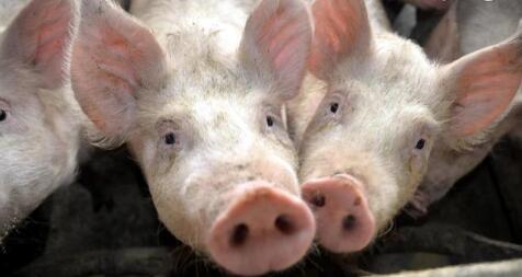 9月猪价将继续走俏,这两个因素是最大助力!