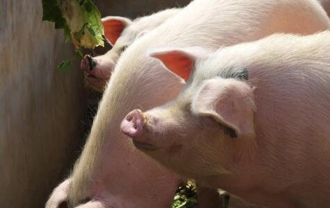 """生猪出栏价步入""""7元"""",养猪户瞄准""""生态猪"""""""