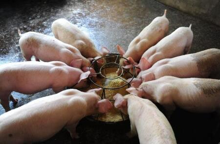 技术帖-猪便秘的原因及防治方法,一学就会!