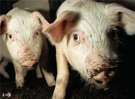 秋天猪传染性胸膜肺炎要警惕,它可能导致猪群死亡!