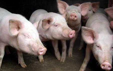 云南15名猪贩伪造检疫证贩卖越南生猪,涉嫌犯罪被批捕
