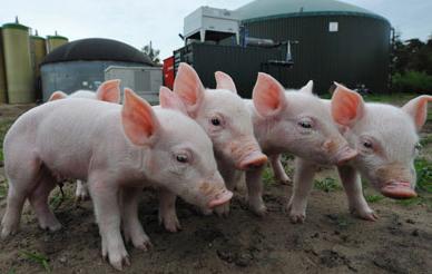 养猪污染环境!还怎么养猪?行情如何?