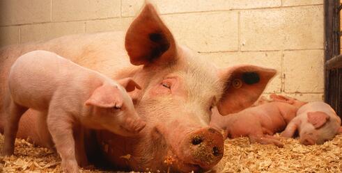 生猪价格继续震荡,国庆节到来前猪价走势情况如何?