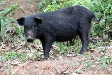 国外原来是这样养猪的!国外健康养猪小窍门3例