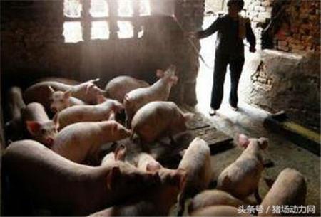 猪价再次起飞,家庭猪场会成为散户最后的救命稻草吗?
