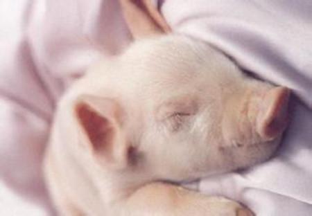 养猪场提高产房小猪成活率的绝招,你知道吗?