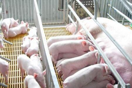 养猪场从三方面着手,提高哺乳仔猪成活率!