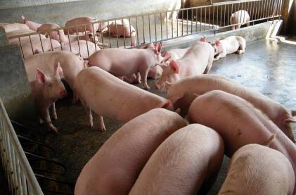 需求好转!猪价后市上涨8元有望!9月猪价止跌要涨