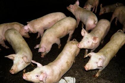 猪价分水岭即将要出现?九月猪价是跌是涨?