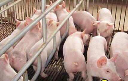 湖北生猪出栏量全国第五 畜禽养殖迈向绿色时代