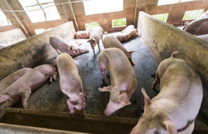 双节重合 理论上不利于猪肉产品节日消费