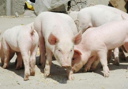 猪病治疗:猪腹泻的几种治疗方法