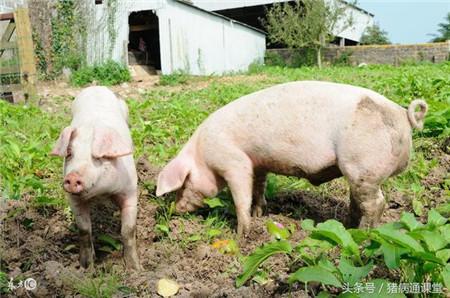 猪的配种方式有哪些?