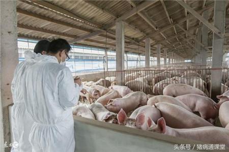 怎样提高猪群免疫力?